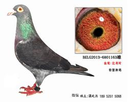 比利时特留种鸽2