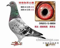 戈马利:13年郑州和平公棚双关鸽王亚军