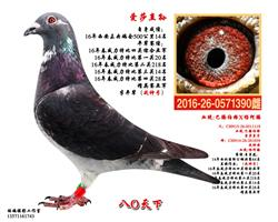 西安未央鸽会500公里14名