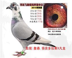 铭鸽精选116