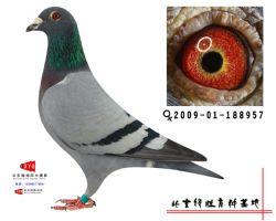 2009-01-188957雌副本