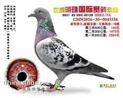 武威明珠春棚决赛148名【此鸽已转让】