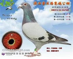 天池560【此鸽已拍卖】