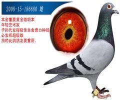 本舍一线种鸽,重要种鸽。
