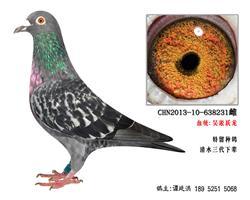 吴淞跃龙系超远程特留种鸽4