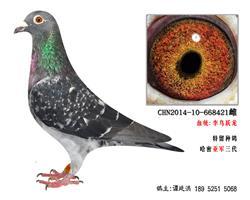 李鸟跃龙系超远程种鸽4