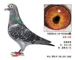 超远程吴淞老国血特留种鸽3