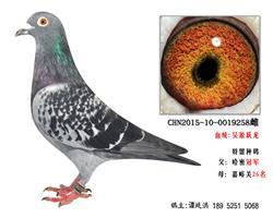 超远程吴淞跃龙系特留种鸽5