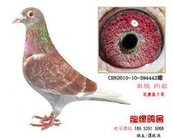 超远程西翁特留种鸽2
