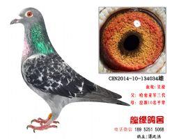 超远程老国血吴淞特留种鸽3