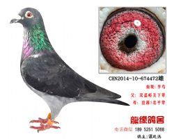 超远程老国血李鸟特留种鸽4