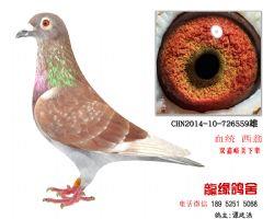 超远程西翁特留种鸽3