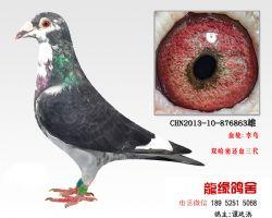 超远程老国血李鸟特留种鸽3