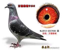 万德维根种鸽3237930