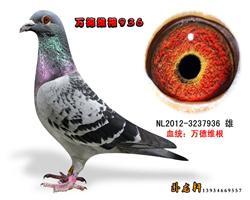万德维根种鸽3237936