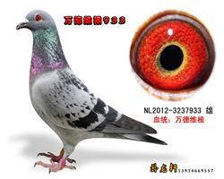 万德维根种鸽3237933