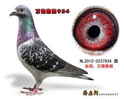 万德维根种鸽3237934