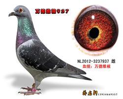 万德维根种鸽3237937