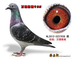 万德维根种鸽3237938
