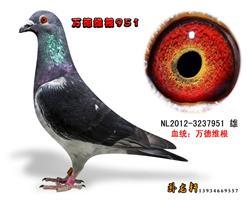 万德维根种鸽3237951