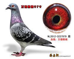万德维根种鸽3237979