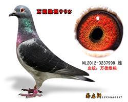 万德维根种鸽3237998