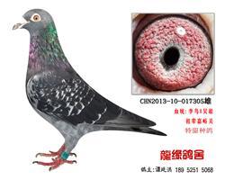 老国血超远程特留种鸽3
