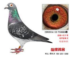 老国血超远程李鸟种鸽3