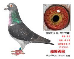 老国血超远程李鸟种鸽2