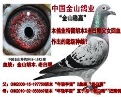 """胡本""""年轻宇宙""""直子与""""老白眼""""回血鸽!"""