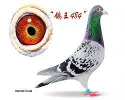 """芬妮卡""""鸽王484"""""""