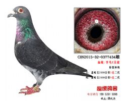 超远程老国血李鸟吴淞极品种鸽3