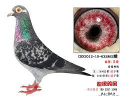 超远程老国血吴淞极品种鸽3