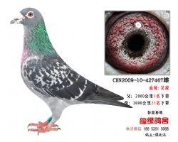超远程老国血吴淞极品种鸽4