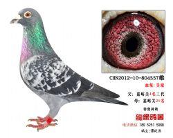 超远程老国血吴淞精品种鸽3