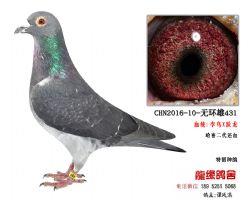 超远程老国血李鸟跃龙种鸽5