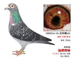 超远程老国血吴淞跃龙精品种鸽4