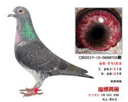 超远程老国血李鸟跃龙种鸽6