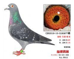 超远程老国血吴淞跃龙精品种鸽5