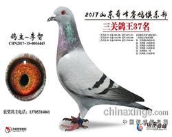 2017年山东舜峰俱乐部鸽王37名