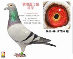 【 盖比 】白腹号近亲直孙本舍超重量级鸽