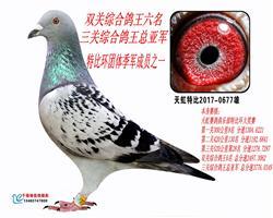 天虹三关综合鸽王亚军