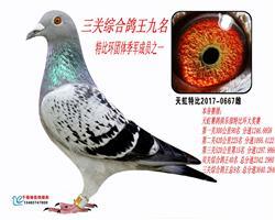 天虹三关综合鸽王9名