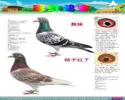 彩虹鸽刊33