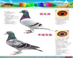 彩虹鸽刊44