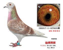 超远程西翁跃龙精品种鸽2