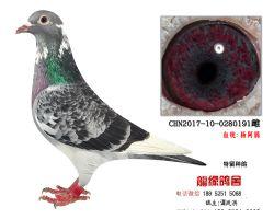 超远程杨阿腾精品种鸽2