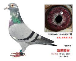 超远程杨阿腾跃龙种鸽2