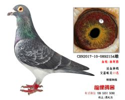 超远程杨阿腾精品种鸽5