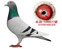 "WHZB鸽王""先锋号"""